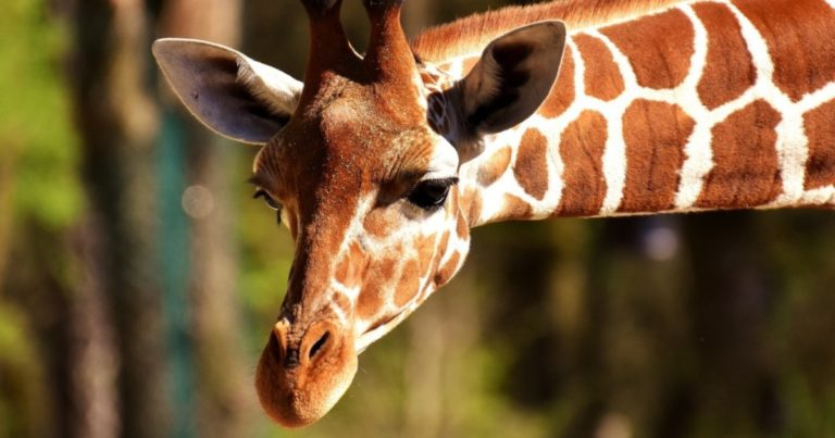 Symbolika żyrafy i szakala